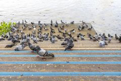 Pigeons eat a lot of food near the river.  stock photo