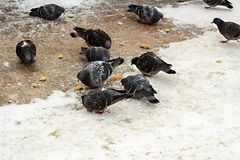 Pigeons doves eat pecking bread crumbs on the snow. Pigeons eat pecking bread crumbs on the snow royalty free stock images