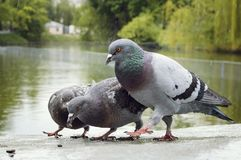 Pigeons eat seeds in the park in the rain. Close-up stock photos