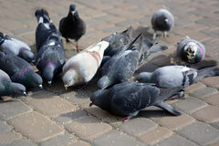Pigeons eat on stone in the park. Royalty Free Stock Photography