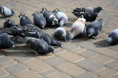 Pigeons eat on stone in the park. Stock Photos