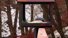 Pigeons eat sunflower. Nature winter in the park Pigeons eat sunflower stock footage
