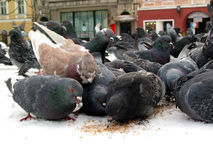 Pigeons eating Royalty Free Stock Photos