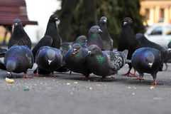 Pigeons eating Royalty Free Stock Photography