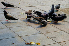 Pigeons are eating bread Royalty Free Stock Photo