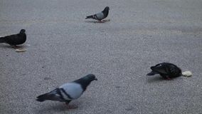 Pigeons Eating Bread stock video footage