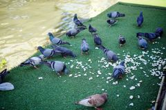 Pigeons eating bread on the green grass stock photos