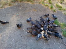 Pigeons eating bread Royalty Free Stock Photography