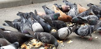 Pigeons eating bread. The shooting of some pigeons by pecking the pieces of bread thrown by passers-by stock image