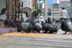 Pigeons eating in a city Royalty Free Stock Images