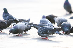 Pigeons eating crumbs Stock Photos