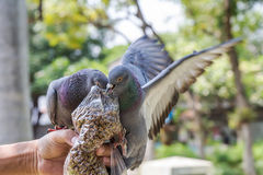 Pigeons eating feed on hand Stock Photography