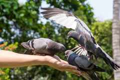 Pigeons eating feed on hand Royalty Free Stock Images