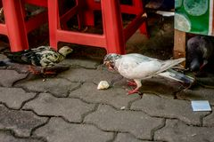 Pigeons are eating food along the path on Doi Suthep. stock image