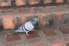 Pigeons are eating food along the path on Doi Suthep. stock photo
