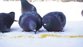 Pigeons eating grain in snow. Close-up of gray pigeons pecking scattered in row of cereals in snow on sunny frosty day.  royalty free stock photos