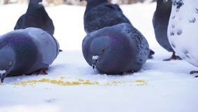 Pigeons eating grain in snow. Close-up of gray pigeons pecking scattered in row of cereals in snow on sunny frosty day.  royalty free stock photo
