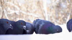 Pigeons eating grain in snow. Close-up of pigeons coming to eat scattered millet grains in snow in park royalty free stock photography