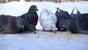 Pigeons eating grain in snow. Media. Close-up of gray pigeons pecking scattered in row of cereals in snow on sunny. Frosty day royalty free stock photos