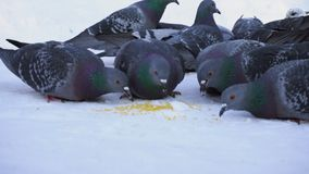 Pigeons eating grain in snow. Media. Close-up of gray pigeons pecking scattered in row of cereals in snow on sunny. Frosty day royalty free stock photography