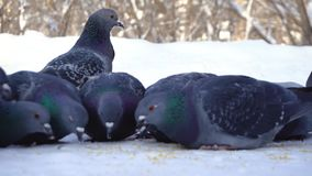 Pigeons eating grain in snow. Media. Close-up of pigeons coming to eat scattered millet grains in snow in park royalty free stock photo