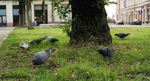 Pigeons eating on the grass in the city royalty free stock photo