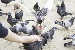 Pigeons eating hand Royalty Free Stock Photos