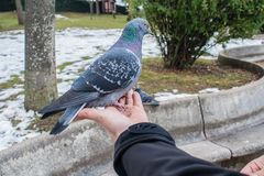 Pigeons eating from the hand royalty free stock photo