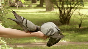 Pigeons eating on the hands stock video
