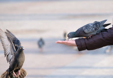 Pigeons eating from the human hand. Pigeons eating from human hand Royalty Free Stock Image