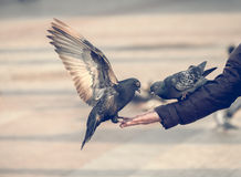 Pigeons eating from the human hand. Pigeons eating from human hand Stock Photos