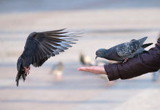 Pigeons eating from the human hand. Pigeons eating from human hand Stock Photography
