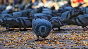Pigeons eating maize grains stock photography