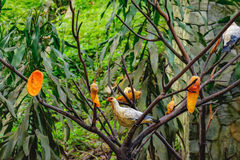 Pigeons eating papaya Stock Photography