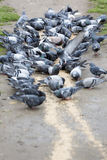 Pigeons eating in the park Stock Image