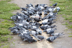 Pigeons eating in the park Royalty Free Stock Photo