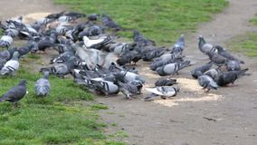 Pigeons eating in the park stock video footage