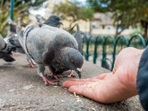 Pigeons eating rice hand Stock Photography