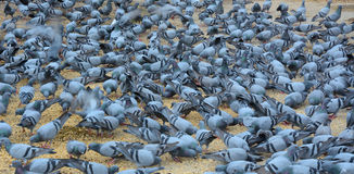 Pigeons eating on street. In Delhi, India stock photo