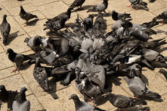 Pigeons eating on street Stock Photography