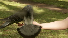 Pigeons eats from the hand stock footage