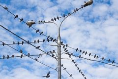 Pigeons on electric pole Stock Image