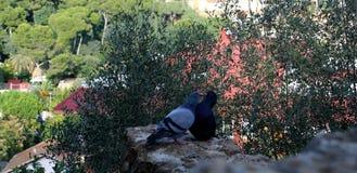 Pigeons embrassant sur le fond des buissons verts images stock