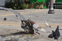 Pigeons en Chypre Images stock
