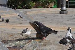 Pigeons en Chypre Image libre de droits