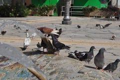 Pigeons en Chypre Photos stock