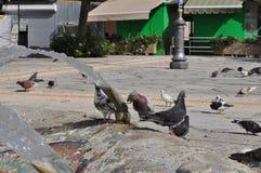 Pigeons en Chypre Photos libres de droits