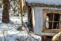 Pigeons en hiver à la cuvette d'alimentation en parc images stock