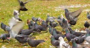 Pigeons en hiver Photo libre de droits