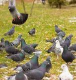 Pigeons en hiver Photos stock